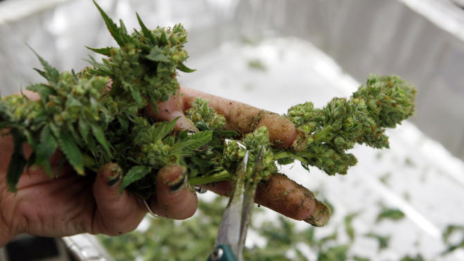 In this Dec. 5, 2013 photo, a worker processes marijuana in the trimming room at the Medicine Man dispensary and grow operation in northeast Denver. Colorado prepares to be the first in the nation to allow recreational pot sales, opening Jan. 1. (AP Photo/Ed Andrieski)