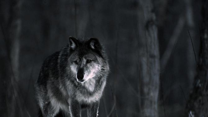 FILE - In this 1987 photo released by the Michigan Department of Natural Resources, a wolf stands in the snow near Ishpeming, Mich., in the Upper Peninsula.  Gov. Rick Snyder signed a bill Wednesday, May 8, 2013, that clears the way to schedule Michigan's first gray wolf hunting season since the resurgent predator was driven to the brink of extinction in the lower 48 states a half-century ago. (AP Photo/Michigan DNR, Dave Kenyon)