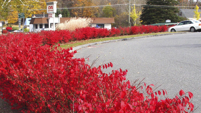 This October 2006 photo released by the University of Connecticut shows Euonymus alata shrubs known as burning bushes in Storrs, Conn.  Twenty one states have banned the popular plant, which produces so many seeds that its growth is hard to control. But a University of Connecticut scientist has found a way to stop its unwanted spread by, in effect, neutering it. (AP Photo/University of Connecticut, Yi Li)