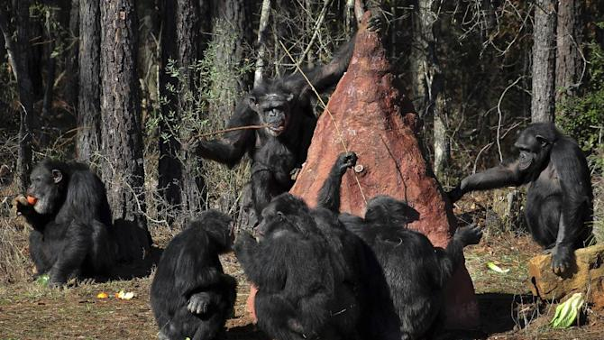 Chimps use sticks to poke into a mock termite mound to taste a sweet substance placed in the mound by keepers at Chimp Haven in Keithville, La., Tuesday, Feb. 19, 2013. One hundred and eleven chimpanzees will be coming from a south Louisiana laboratory to Chimp Haven, the national sanctuary for chimpanzees retired from federal research. (AP Photo/Janet McConnaughey)
