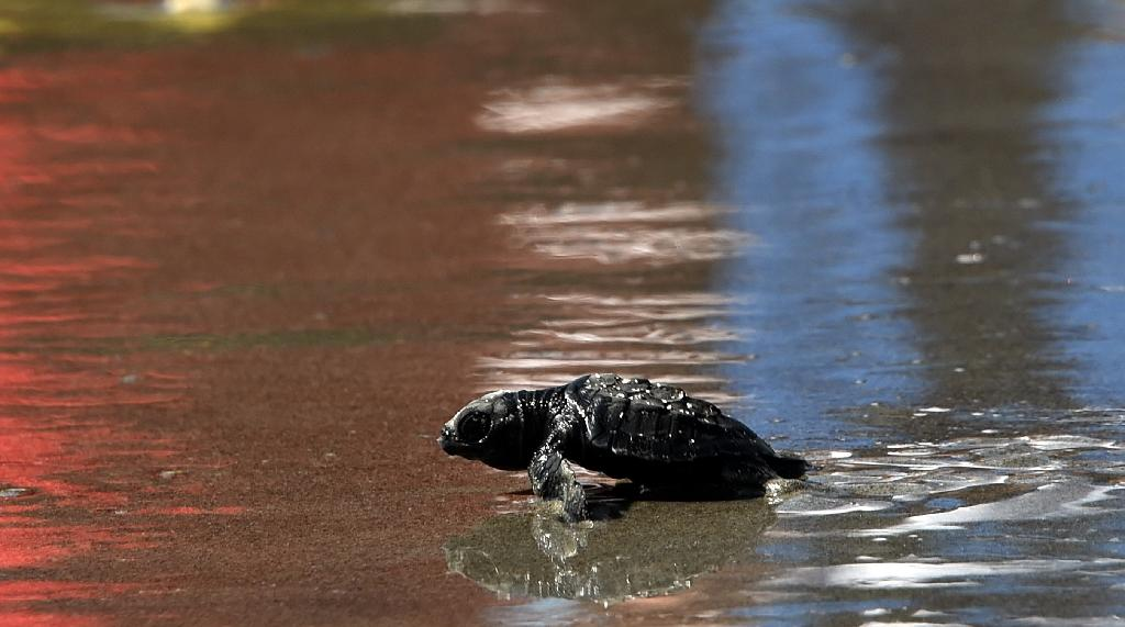 Panama turtle eggs could 'fry' from rising temperatures: eco-group