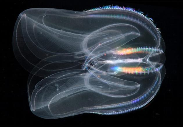 This undated image provided by the Sars International Center for Marine Molecular Biology, University of Bergen, Norway via the journal Science in December 2013 shows a Mnemiopsis leidyi, a species of