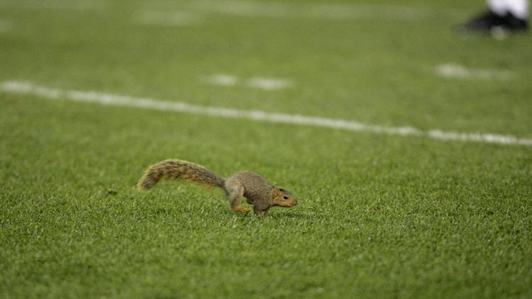 FILE - In this Nov. 6, 2008, file photo, a squirrel runs onto the field during an NFL football game between the Denver Broncos and Cleveland Browns in Cleveland. (AP Photo/Mark Duncan, File)