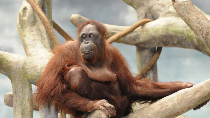 FILE - In this July 18, 2012 file photo provided by the Chicago Zoological Society shows Maggie, a Bornean orangutan who lives in Brookfield Zoo's Tropic World exhibit, relaxing on her 51st birthday in Brookfield, Ill. Endangered chimpanzees, orangutans, gorillas and bonobos are disappearing from the wild in frightening numbers, as private owners pay top dollar for exotic pets, while disreputable zoos, amusement parks and traveling circuses clamor for smuggled primates to entertain audiences. (AP Photo/Chicago Zoological Society, Jim Schulz, File)