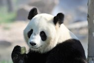 Yuan Zi, one of the two giant pandas which arrived last winter in France from China, eats an ice, on August 23, at Beauval zoo in Saint-Aignan, central France. Like many French couples starting life together Huan Huan and Yuan Zi have moved into a new home, happily go about their daily business, and hopes are high for a baby, but nothing else is normal for the two pandas