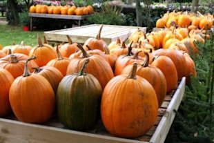 Happy harvesting! It's Pumpkin Day!