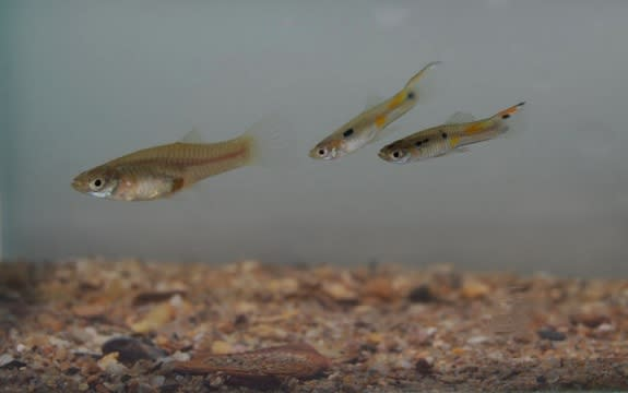 Sexual Harassment in the Animal Kingdom? How Female Guppies Escape