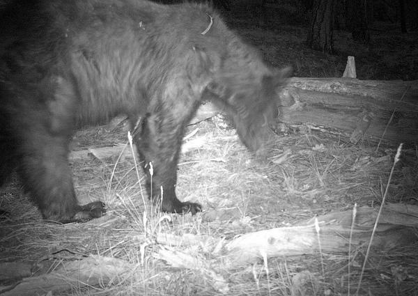 Rare Sight: Black Bear Photographed at Grand Canyon