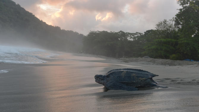 In this May 2, 2013 photo, a leatherback turtle heads back into the ocean after burying her clutch of eggs in the sand at daybreak on a narrow strip of beach in Grande Riviere, Trinidad. In years past, poachers from Grande Riviere and nearby towns would ransack the turtles' buried eggs and hack the critically threatened reptiles to death with machetes to sell their meat in the market. Now, the turtles are the focus of a thriving tourist trade, with people so devoted to them that they shoo birds away when the turtles first start out as tiny hatchlings scurrying to sea.  (AP Photo/David McFadden)