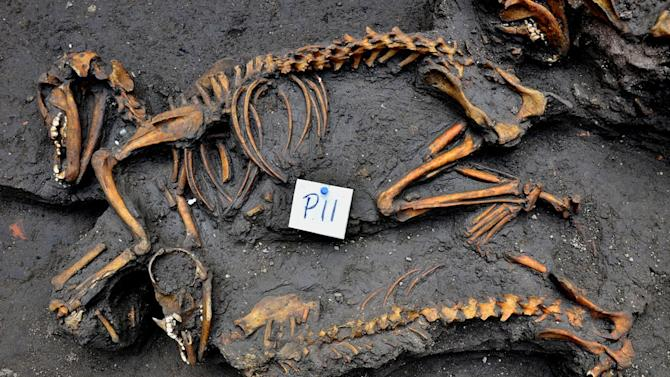 """This Jan. 17, 2014 image released by Mexico's National Institute of Anthropology and History, INAH), Friday, Feb. 14, 2014, shows canine skeletons unearthed by investigators in Mexico City. Archaeologists say they have discovered """"an exceptional"""" burial site under an apartment building in Mexico City containing the remains of 12 dogs, animals that had a major religious and symbolic significance to the Aztec peoples of central Mexico. (AP Photo/INAH, Meliton Tapia)"""