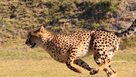 Usain Bolt vs. The Cheetah: Olympians of the Animal Kingdom