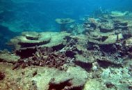 Undated handout photo provided by the Australian Institute of Marine Science shows damage caused by crown-of-thorns starfish at the Great Barrier Reef. An Australian research team said Monday they have found an effective way to kill the destructive starfish that are decimating coral reefs across the Pacific and Indian oceans