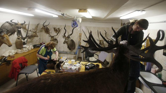 In this Tuesday, April 30,  2013 photo, a taxidermist works on a deer, in Radomir Franz's taxidermy shop, in Sakvice, Czech Republic, Thursday, May 2, 2013. Franz is one of central Europe's most sought-after experts in the field _ and says he has stuffed animals from every country except, perhaps, Greenland. Franz, wearing safari-like clothing and a gold chain, says demand for his work never ceases, with orders from all over the world. He spends part of the year traveling to see animals in their natural habitat so that his work is as accurate as possible. (AP Photo/Petr David Josek)