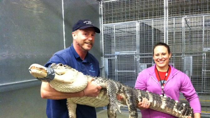 In this Monday, June 3, 2013 photo provided by the Ohio Department of Agriculture, Tim Harrison, director of Dayton-based Outreach For Animals, and Amanda Heim, a state dangerous wild animal inspector, hold an almost 7-foot-long alligator brought to Ohio's temporary housing facility for exotic animals in Reynoldsburg, Ohio. The alligator stayed a few days at the facility, while awaiting transfer to a Florida sanctuary. (AP Photo/Ohio Department of Agriculture)