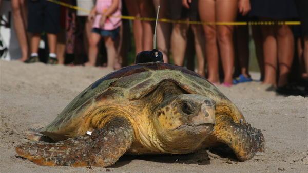 Blood Tests Show Where Loggerhead Turtles Go