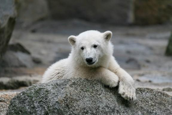 Why Knut the Polar Bear Died So Suddenly