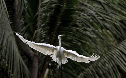 An egret flies along the river Brahmaputra in Gauhati, India, Thursday, May 17, 2012. Egrets build their nests on trees along the river Brahmaputra during the monsoon season every year. (AP Photo/Anup
