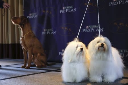New breed entries in the 139th Annual Westminster Kennel Club Dog Show Chanel and Burberry, Cotons de Tulear breeds, stand while Falko, a Wirehaired Vizla, stand with its owner during a press conference in New York