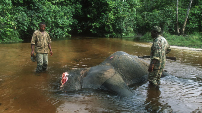 In this undated photo released Thursday April 25, 2013 by WWF-Canon, game guards inspect the carcass of a forest elephant killed by poachers in the Dzanga-Sangha National Park, Central African Republic. Elephant meat is flooding food markets in villages near a famed wildlife reserve in Central African Republic one month after rebels believed to be involved in poaching overthrew the government, conservationists said Thursday, April 25, 2013. The Dzanga-Sangha reserve in the rainforests of southwestern Central African Republic has been home to more than 3,400 forest elephants. Now the political chaos unleashed by a rebellion that overthrew Central African Republic's president of a decade has enabled elephant poachers to further their slaughter.(AP Photo/Martin Harvey, WWF-Canon)