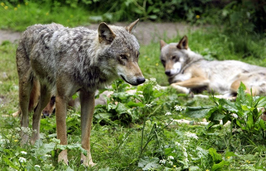 Wolves return to Warsaw area after decades