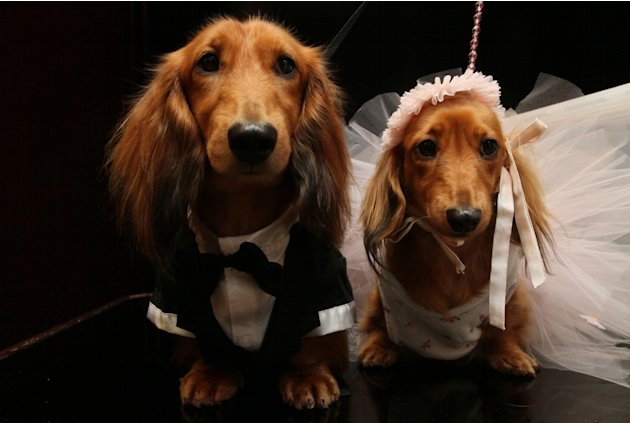 Dachshunds dressed for the occasion, Clifford, left, and his cousin Dee Dee, wait to take part in the most expensive wedding for pets Thursday July 12, 2012 in New York.  The black-tie fundraiser, whe