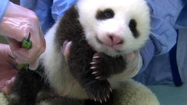 Giant Panda Cub Dies at National Zoo
