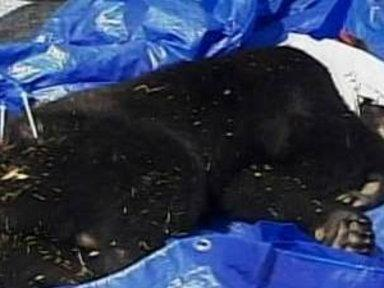 Pesky Bear Relocated Once Again in Florida