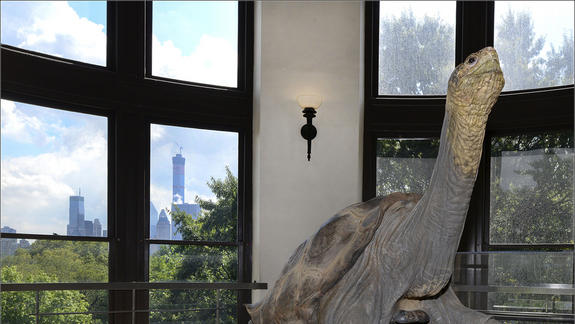 Lonesome No More: George the Giant Tortoise on Public Display in NYC