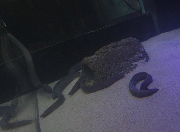 Hagfish, or slime eel, will be on exhibit at Underwater World from now till January. (Photo courtesy of Underwater World)