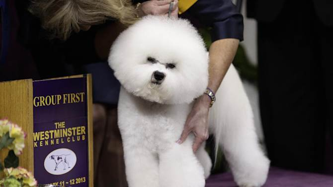 Honor, a Bichon Frise, and winner of the non-sporting group, is held by handler Lisa Bettis during the Westminster Kennel Club dog show Monday, Feb. 11, 2013, at Madison Square Garden in New York.(AP Photo/Frank Franklin II)