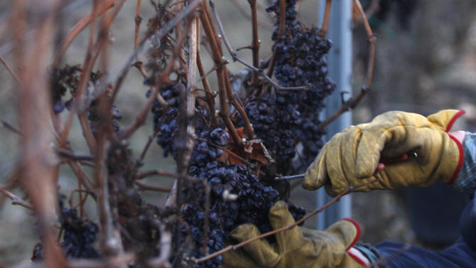 In this picture taken on Wednesday, Feb. 1, 2012, man picks grapes of Pinot Noir from a vineyard near the village of Stosikovice na Louce, Czech Republic. Following an unusually warm winter Czech wine makers finally got the deep chill needed to reap grapes for Ice Wine. (AP Photo/Petr David Josek)