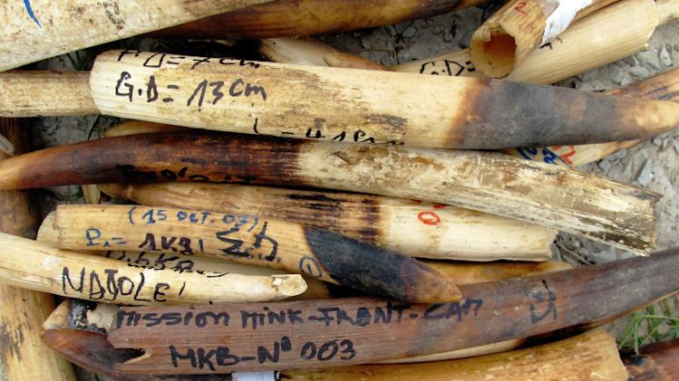 Poached ivory elephant tusks confiscated by anti-poaching patrols, Gabon, Africa