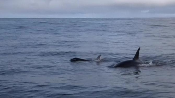 Baby orca whale and mother swim together in Puget Sound
