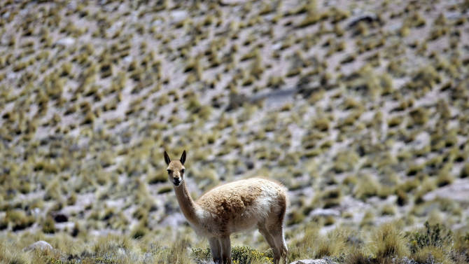 In this Sept. 26, 2012 photo, a llama grazes on a hill near one of the worlds largest astronomy projects, the Atacama Large Millimeter/submillimeter Array (ALMA) in the Atacama desert in northern Chile. The lack of humidity, low interference from other radio signals and closeness to the upper atmosphere in this remote plateau high above Chile's Atacama desert, is the perfect spot for the ALMA, the earth's largest radio telescope, which is on track to be completed in March. (AP Photo/Jorge Saenz)