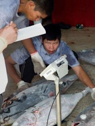 A Chinese fisherman places yellow fin tuna on scales in front of inspectors as they offload their catch on board the Han Nan Yu 722 in Avarua. An ambitious plan to link marine parks across a vast swathe of ocean -- whose surface area would equal that of the Moon -- is slowly coming together piece by piece, say conservationists