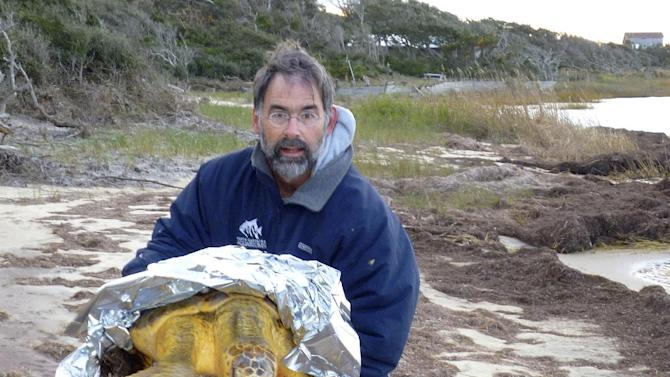 In this Jan 2, 2013 photo provided by Liz Browing Fox, Lou Browning of Hatteras Island Wildlife Rehabilitation in N.C., holds a loggerhead turtle. Volunteers along North Carolina's coast are walking through muck and going out on kayaks to rescue sea turtles that get stuck in sounds when the water turns cold, stunning them and leaving them helpless to save themselves. (AP Photo/Liz Browing Fox)