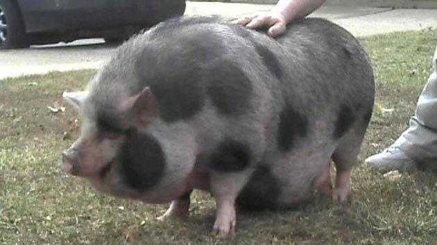 Penelope the pig, post adventure (FOX News Videos)