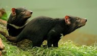Tasmanian Devils once roamed Australia but since about 1600 have been isolated to Tasmania, an island state south of the mainland, where a series of disease outbreaks has seen their genetic stocks severely diminished