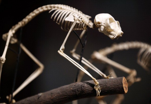LONDON, ENGLAND - SEPTEMBER 04: The skeleton of a Loris is shown on a tree branch at The Grant Museum of Zoology on September 4, 2012 in London, England. Containing 67,000 specimens, the Grant Museum 