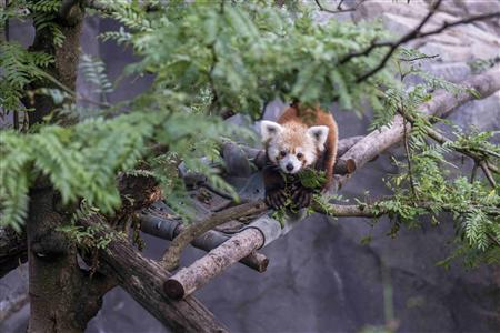 Rusty the red panda missing from Washington's National Zoo
