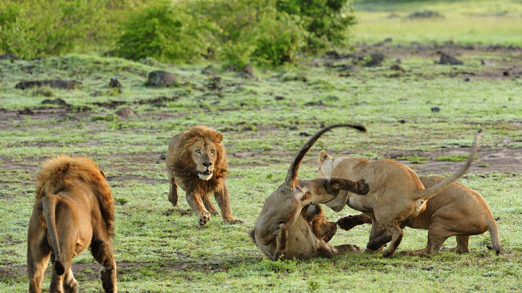 Lioness Protects Young