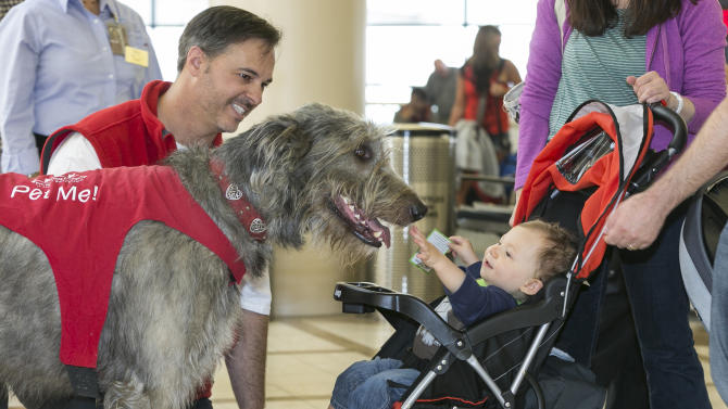 Free airport therapy has a cold nose, wagging tail