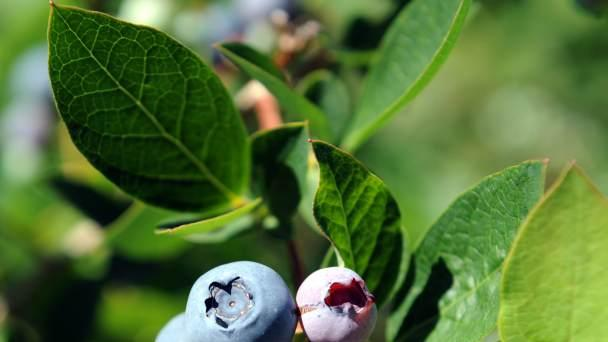 Blueberries -- Getty Images