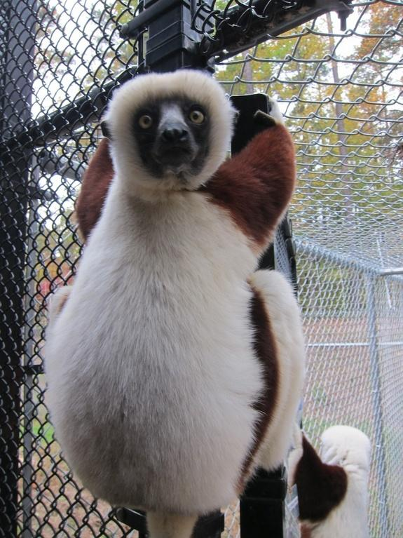 Wanna Watch Lemurs? Head to North Carolina
