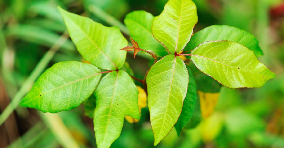 Poison Ivy: Myths and Facts
