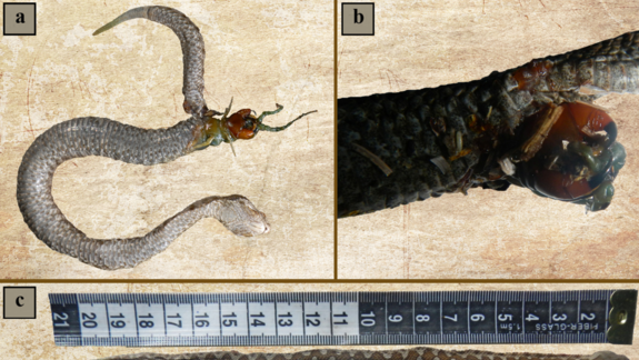 Centipede Bursts from Snake's Stomach