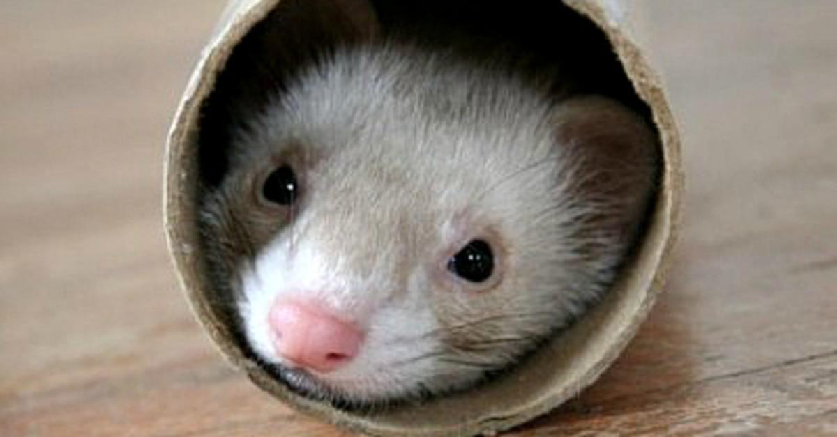 13 Reasons Why You Need a Ferret
