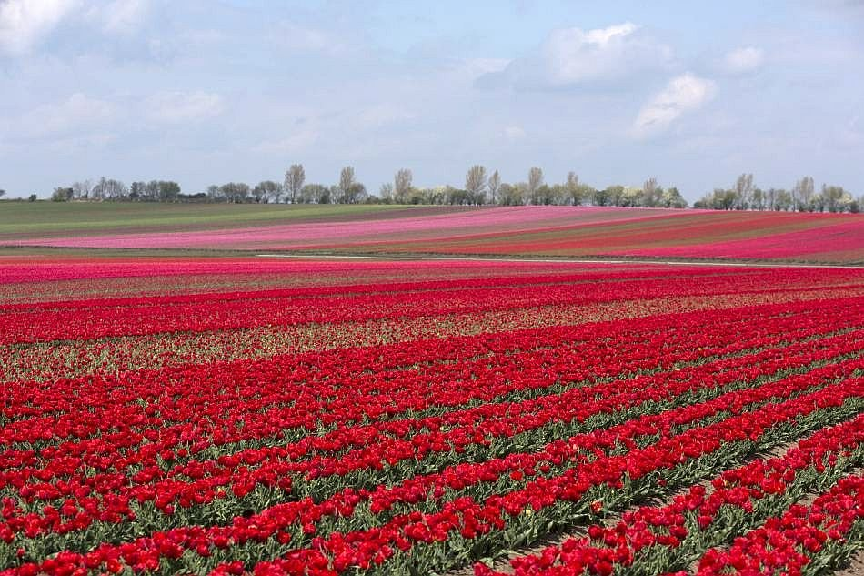 Europe celebrates springtime with tulips