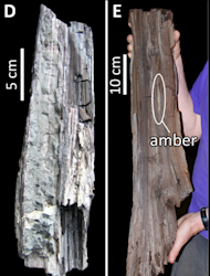 The image at right shows the well-preserved specimen described in the study. The wood was split when removed from the ore, revealing a sliver of opaque amber (9.5 cm by 0.5 cm). At right is a picture of another specimen for comparison. This fos