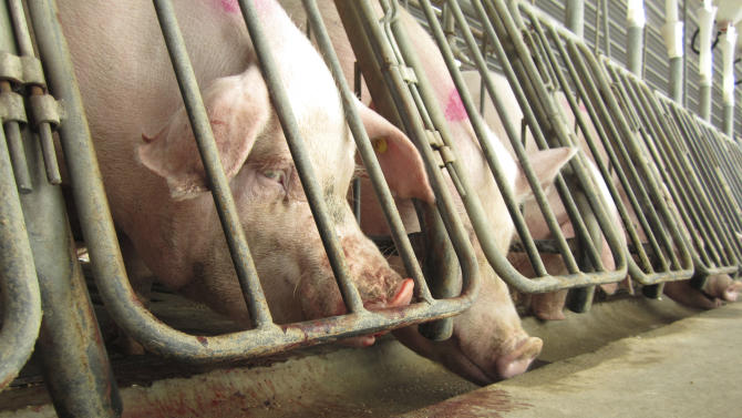 This Nov. 12, 2010 photo provided by The Humane Society of the United States shows alleged abuse of female breeding pigs at a Virginia factory farm owned by a subsidiary of Smithfield Foods.  (AP Photo/The Humane Society of the United States)